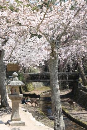 Kirschen und Rehe auf Miyajima